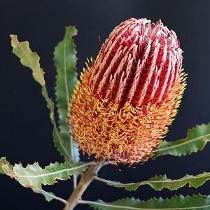 Australian honeysuckle