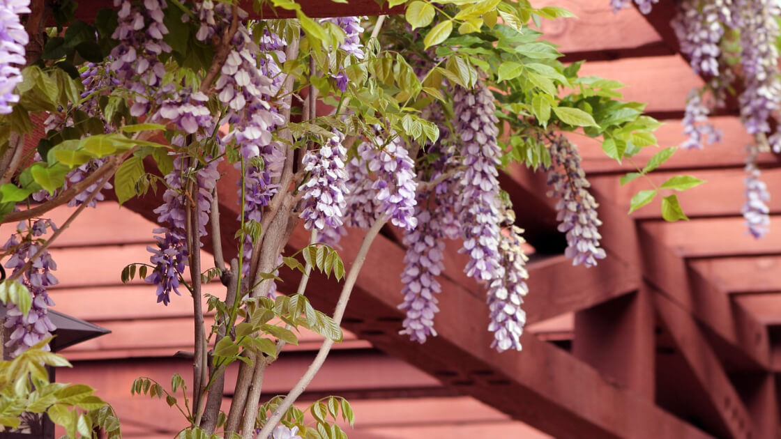 Plants You Can Grow On Your Pergola